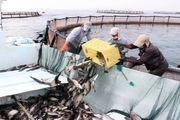 برداشت ۴۰۰تُن ماهی سیباس صادراتی در آبهای قشم